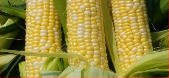 GMO-Picture-Corn